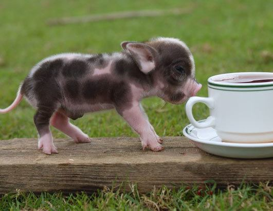 Teacup Pigs For Sale