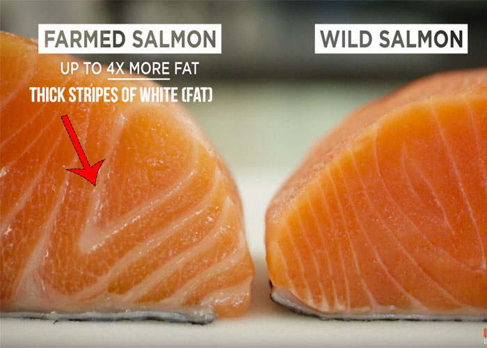 farmed-salmon-1