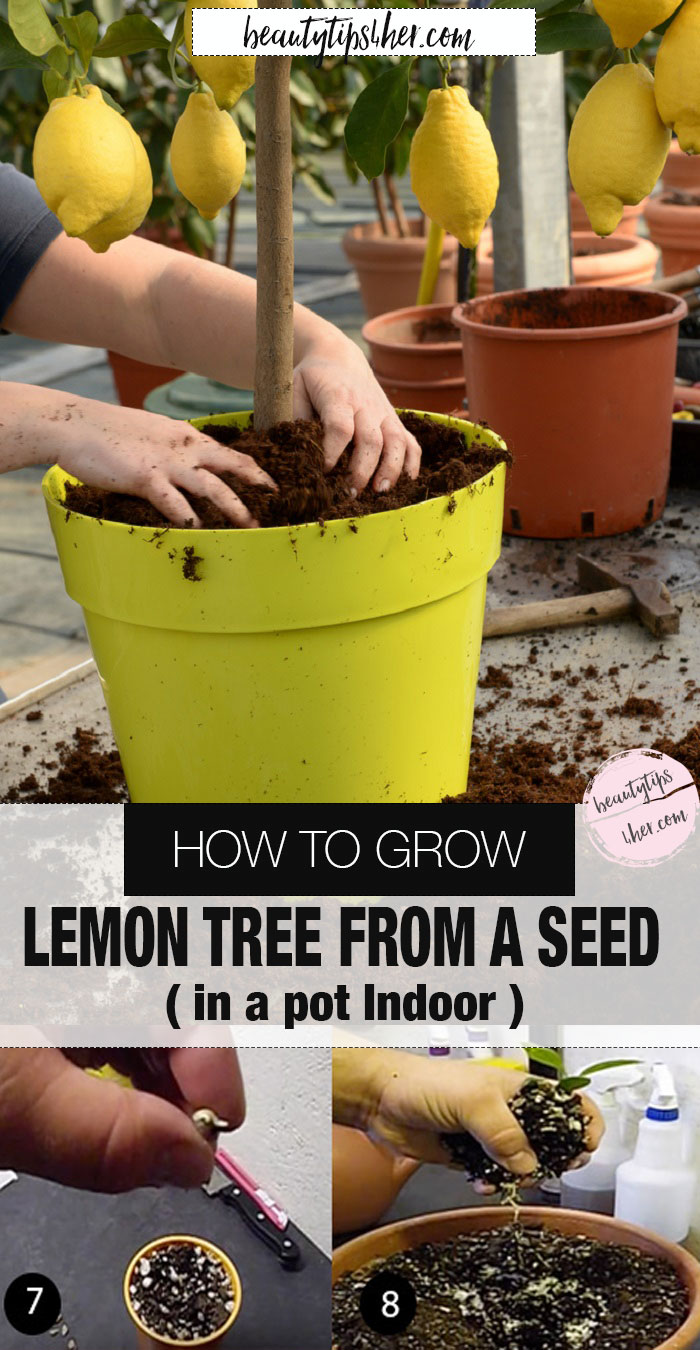 how to grow lemon tree from seed indoors fast
